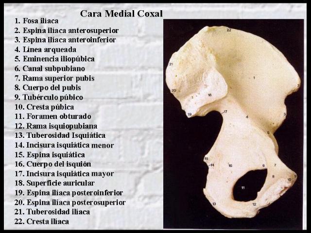 La cintura pelviana | Blog Anatomia - Cadera y Rodilla